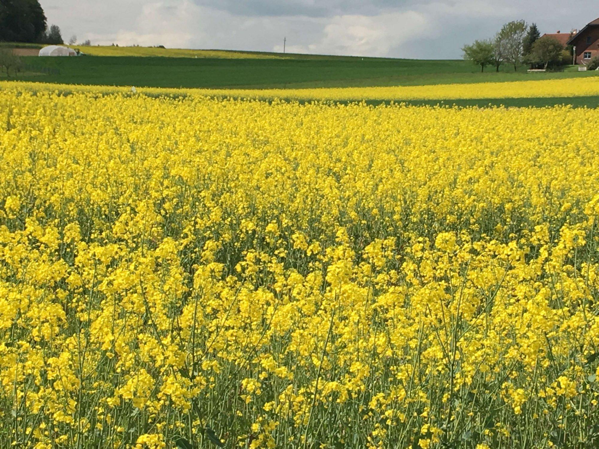 Eine gelbe Rapswiese