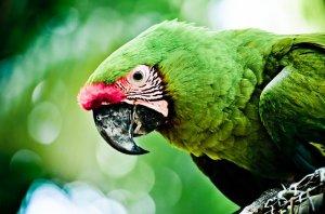 Papagei grün